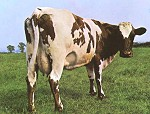 atom heart mother cow